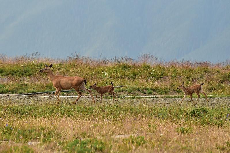 Deer family at Hurricane Ridge