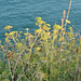 20210812-07_Seed heads on cliff tops approaching Durl Head near Brixham