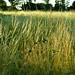 20210812-01_Evening light on grasses - South West Coast Path near Brixham
