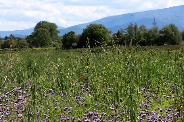 Dietenbach landscape (May) - II