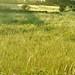 20210812-06_Evening light on grasses - South West Coast Path near Brixham