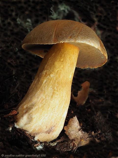 P8180638 Velvet Bolete, Suillus variegatus