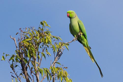 Rose-ringed Parakeet  - male
