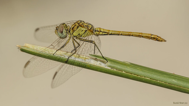 Sympetrum sinaiticum. Young male