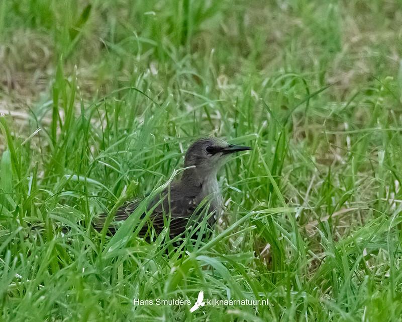 Spreeuw (Sturnus vulgaris)-850_4965