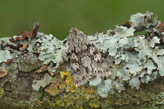 73.069 Early Grey (Xylocampa areola), Burntisland, Fife