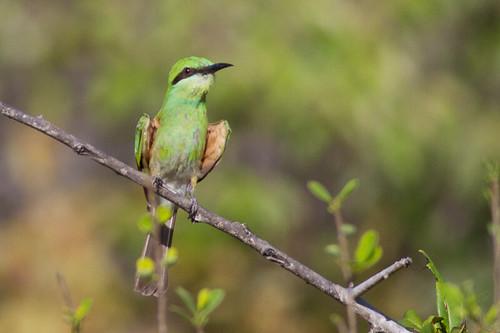 Asian Green Bee-eater