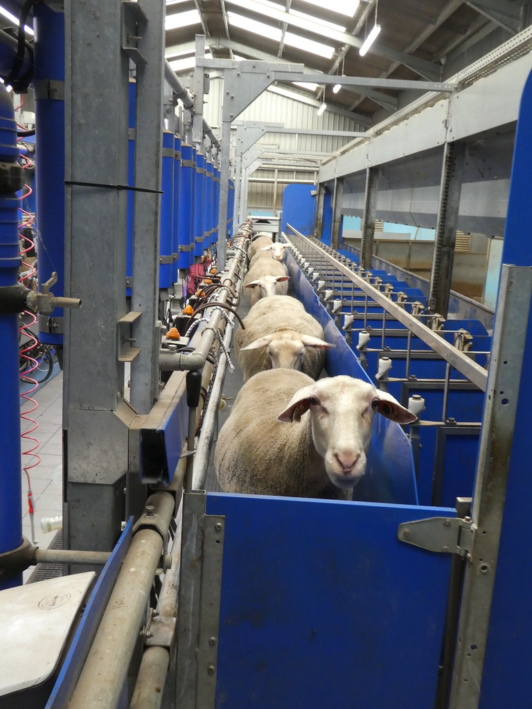Sheep at Laund Far, Chipping entering the milking parlour
