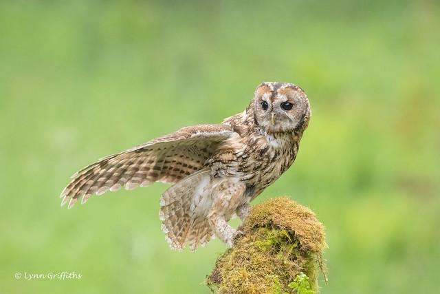 Tawny Owl - Wild 850_8293.jpg