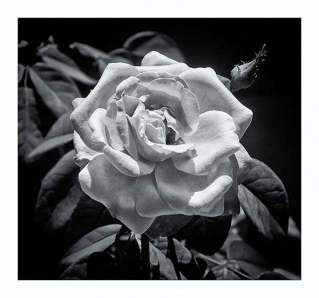 Rosa (Rose)