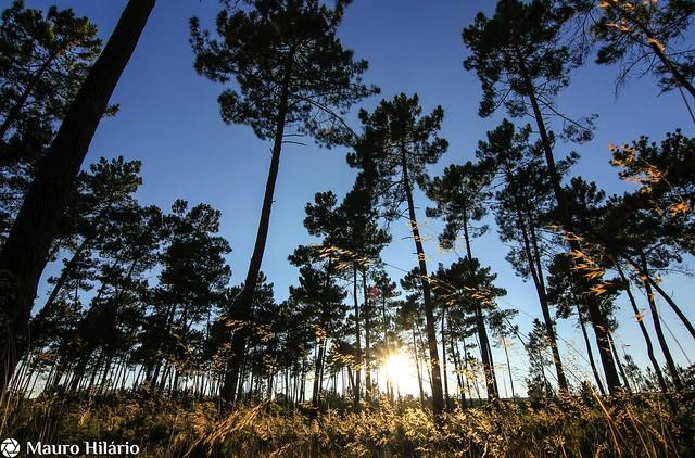 Pine eventide
