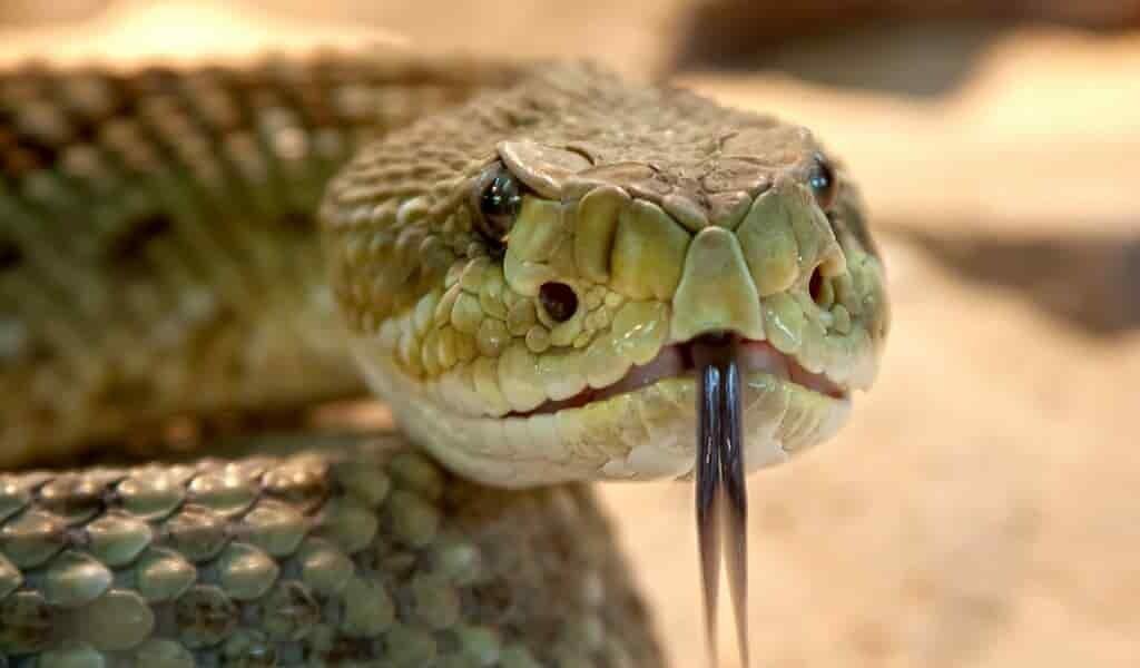 les-serpents-à-sonnettes-utilisent-un-truc-pour-nous-faire-croire-ils-sont-proches