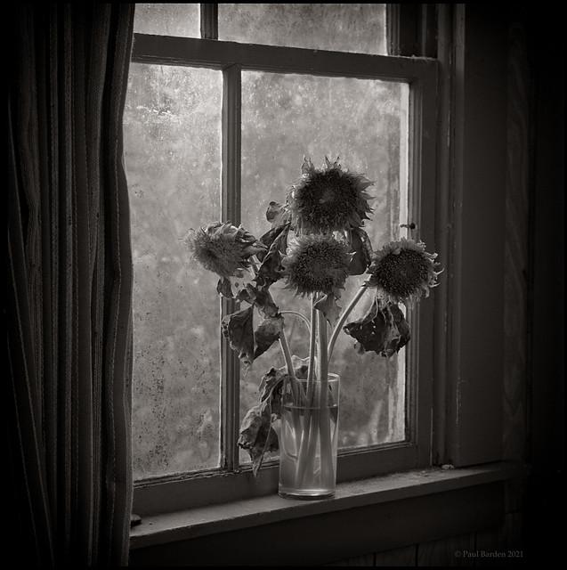 pyrocat.tri-x.Sunflowers.03.jpg