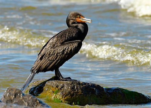 Double-crested Cormorant - Braddock Bay East Spit - © Alan Bloom - Aug 15, 2021