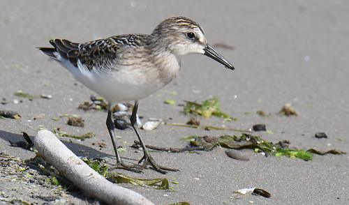 Semipalmated Sandpiper - Braddock Bay East Spit - © Dick Horsey - Aug 15, 2021
