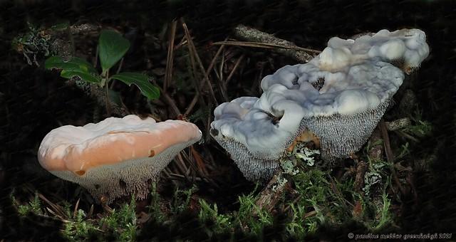 P8180690 Orange & Blue Tooth, Hydnellum aurantiacum and H. cearuleum