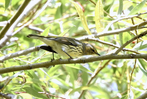 Cape May Warbler - Braddock Bay East Spit - © Candace Giles - Aug 16, 2021