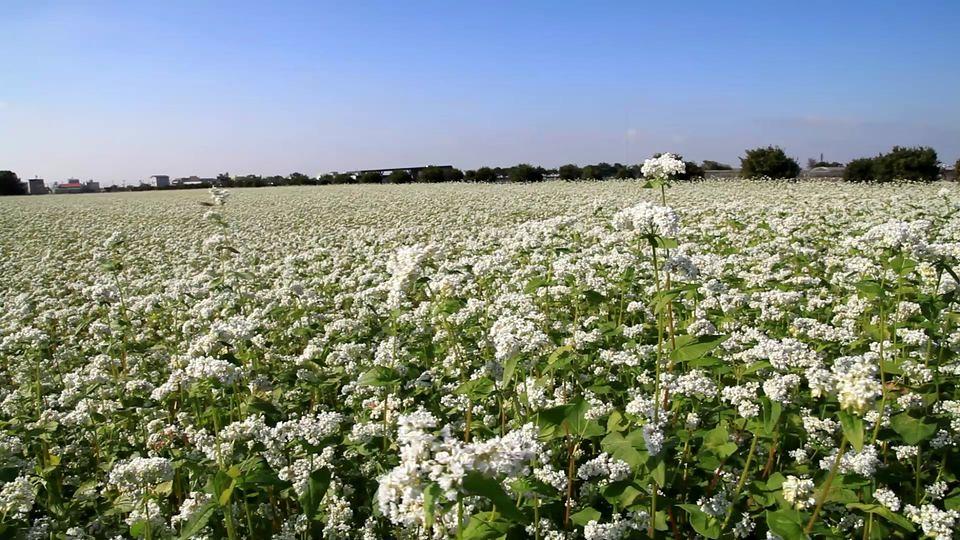 蕎麥是優良的冬季蜜源植物、生長迅速可以抑制雜草、中斷連作作物的病蟲害循環。照片來源:台中區農改場臉書