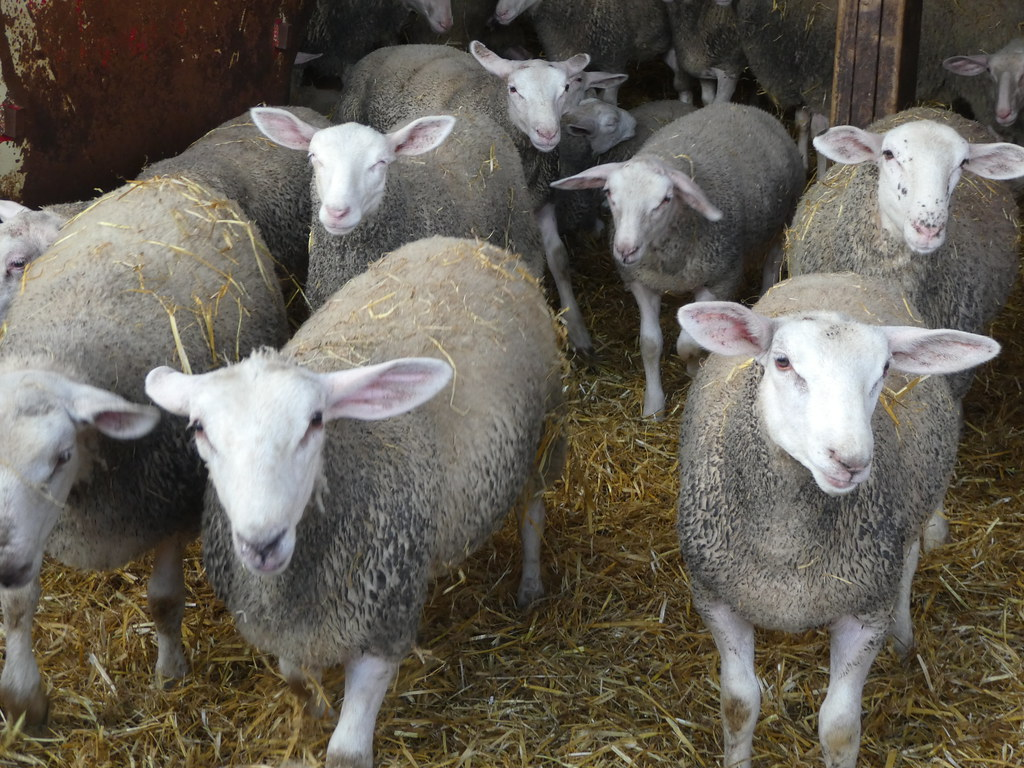 Ewes ready for milking at Laund Farm, Chipping