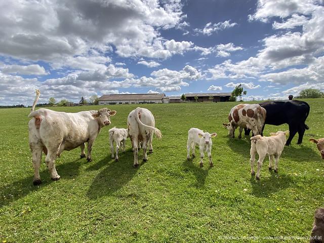 Kühe auf der Wiese / Wanderung Bad Wimsbach