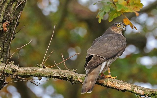 Sparrowhawk On The Hunt