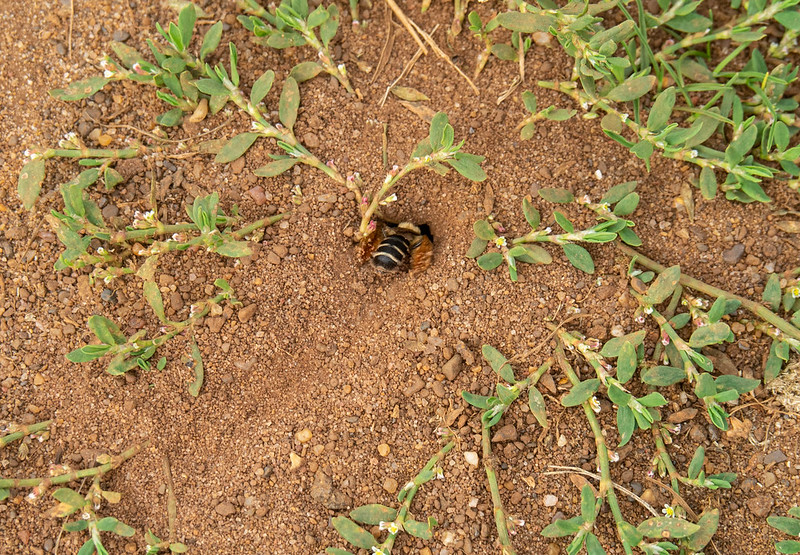 Solitary Bee excavating a nest at Puttenham Common