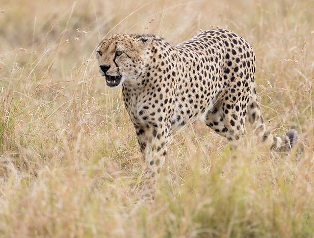 Cheetah in Maasai Mara
