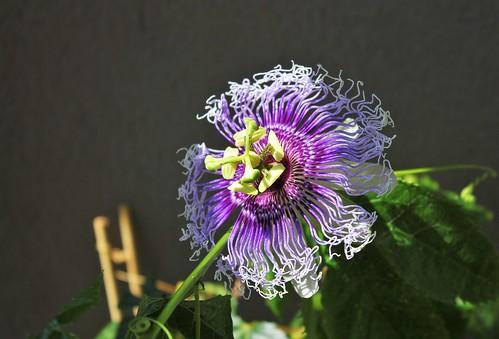 Passiflora 'Byron Beauty' - Page 4 51390490493_588feec0a6
