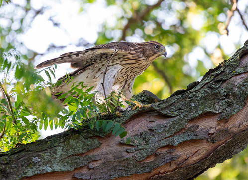 Cooper's Hawk - Rochester - © Angie Armstrong - Aug 13, 2021