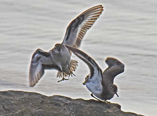 Spotted Sandpiper - Braddock Bay East Spit - © Dick Horsey - Aug 13, 2021