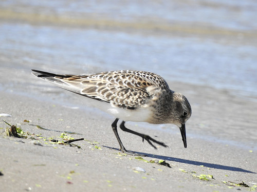 Baird's Sandpiper - Braddock Bay East Spit - © Candace Giles - Aug 15, 2021