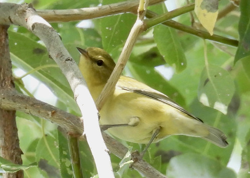 Tennessee Warbler - Braddock Bay East Spit - © Eunice Thein - Aug 16, 2021