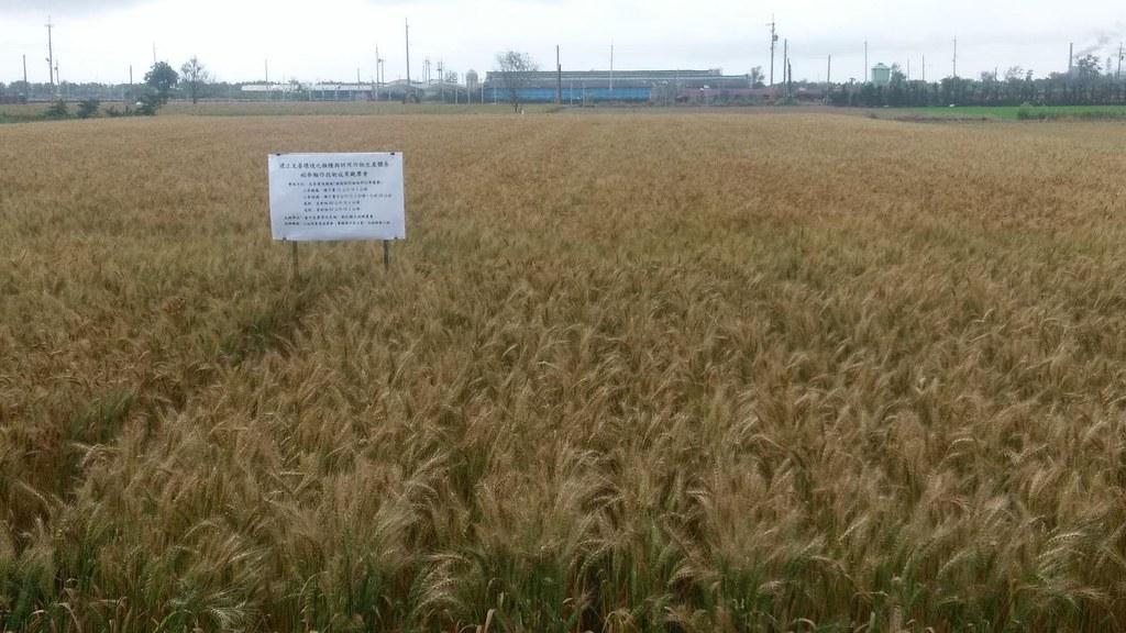 臺中區農業改良場推廣友善環境的稻麥輪作耕作制度,期間小麥田間生長情形良好,產量提升 15% 以上。照片來源:臺中區農業改良場