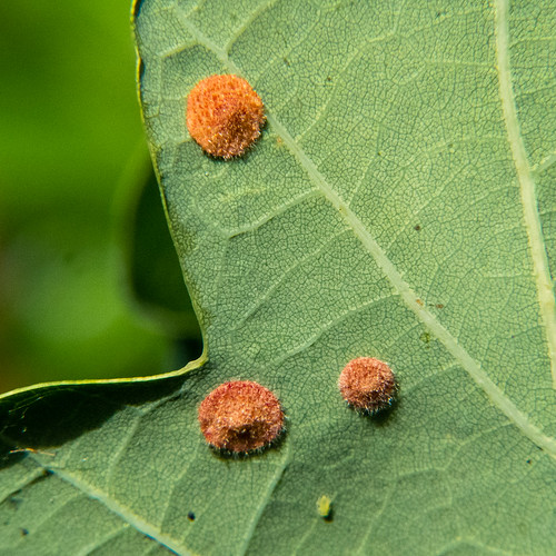 Common spangle galls, oak leaf