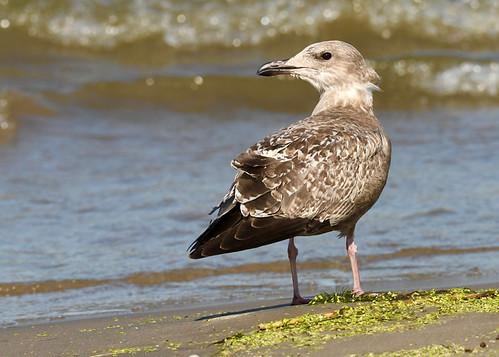 Herring Gull - Braddock Bay East Spit - © Alan Bloom - Aug 15, 2021
