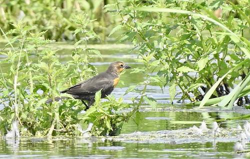 Yellow-headed Blackbird - Braddock Bay East Spit - © Candace Giles - Aug 16, 2021