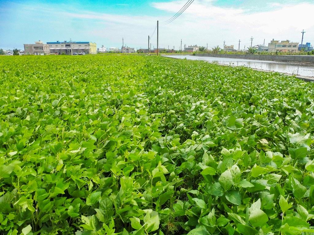 綠肥大豆則是培養肥力的好選擇,具耐旱特性且其根部具有根瘤菌,每公頃可固氮量95~251公斤。照片來源:台中區農改場臉書