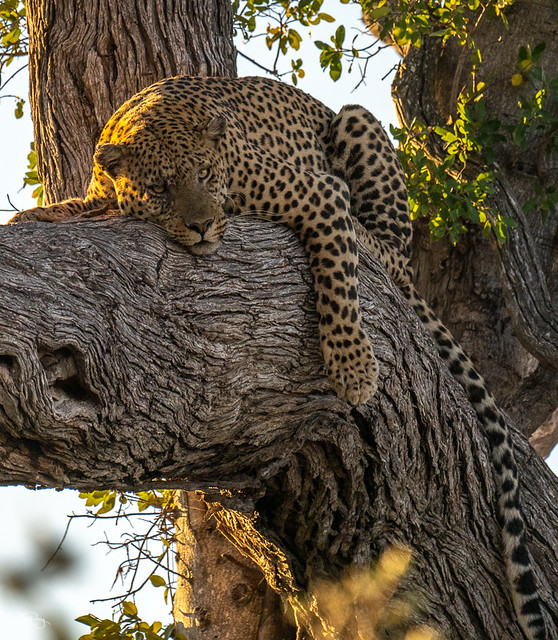 Leopard hanging out!
