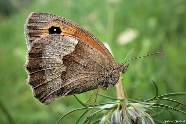 Butterfly 2039  (Maniola jurtina)