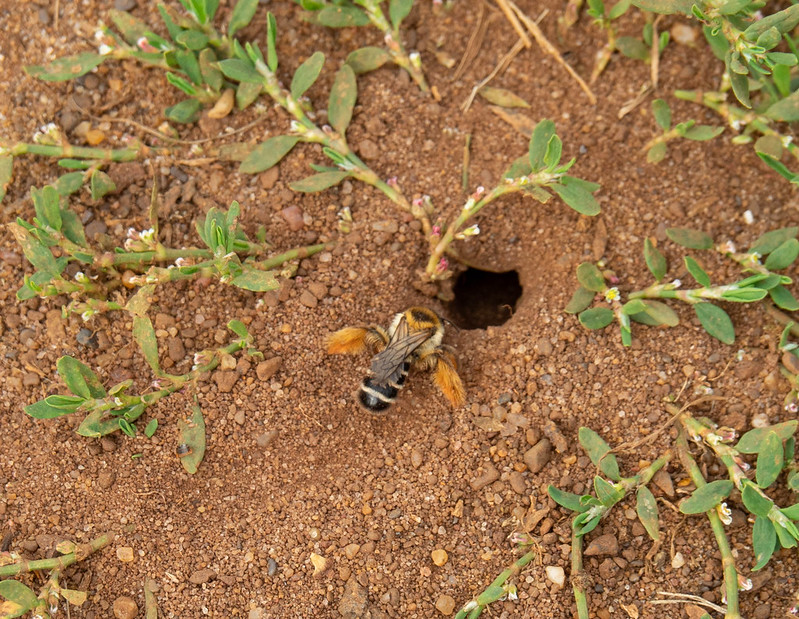 Solitary bee creating a nest in the sandy soil