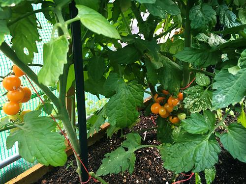 Solanum lycopersicum 'Orange Rapture'