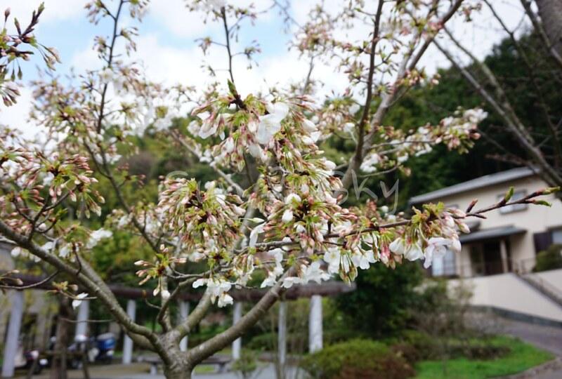 kyuhaku-sakura