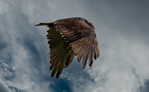 turkey_vulture_20210820_114-Edit