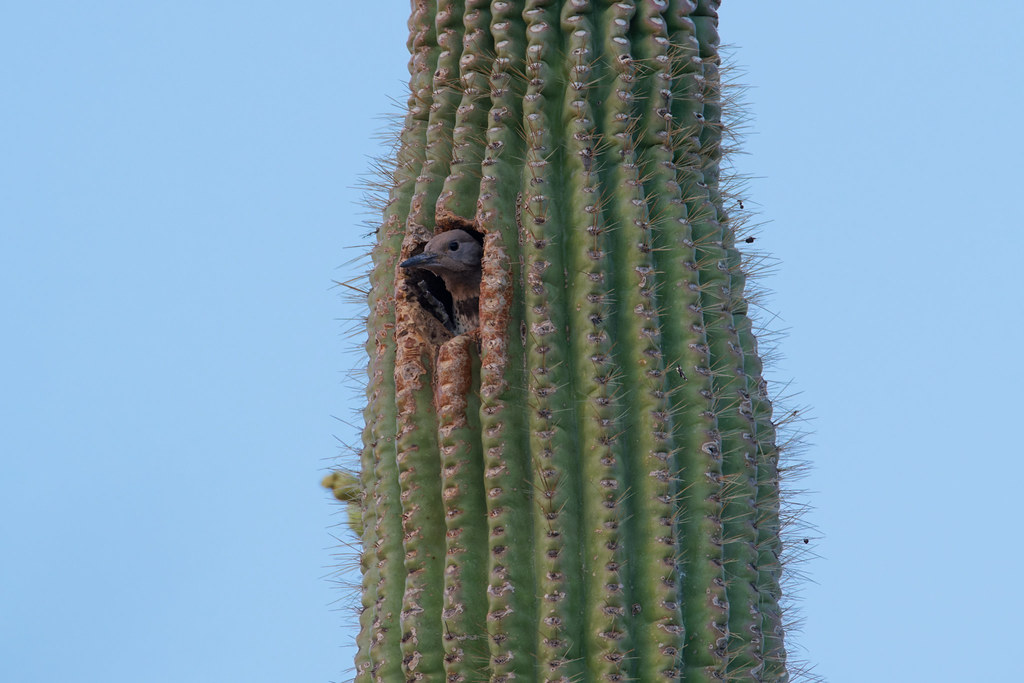 A young gilded flicker peers out from its nest in a saguaro after the sun set at George Doc Cavalliere Park in Scottsdale, Arizona on May 31, 2021. Original: _RAC2537.arw