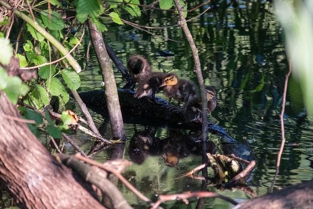 Ducklings on a log