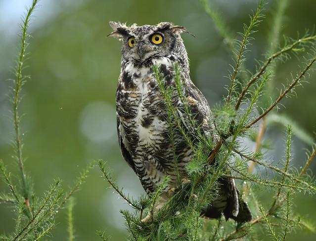 Grand-Duc d'Amérique - Great-Horned Owl