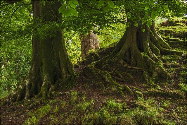 Tree roots (Flickr Explore award).