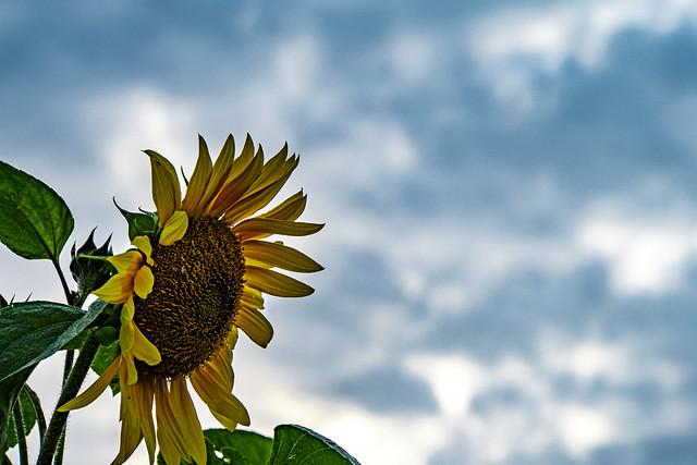 21-08-21 nah back sonnblum blü gelb wolk dunk weiss kont text ds_05266