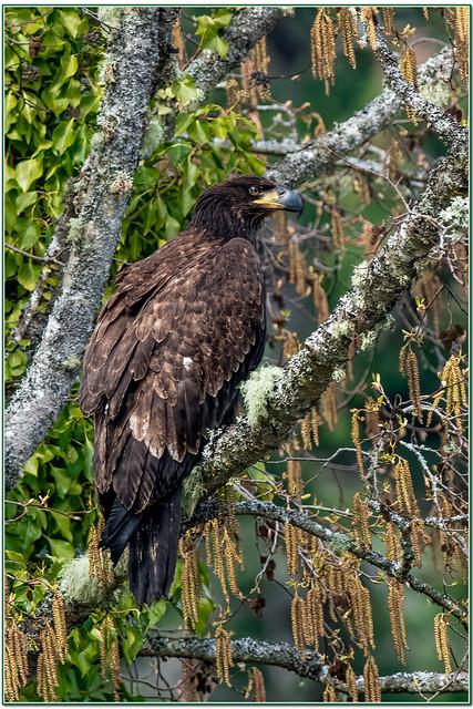 American Bald Eagle ( Juvenile )