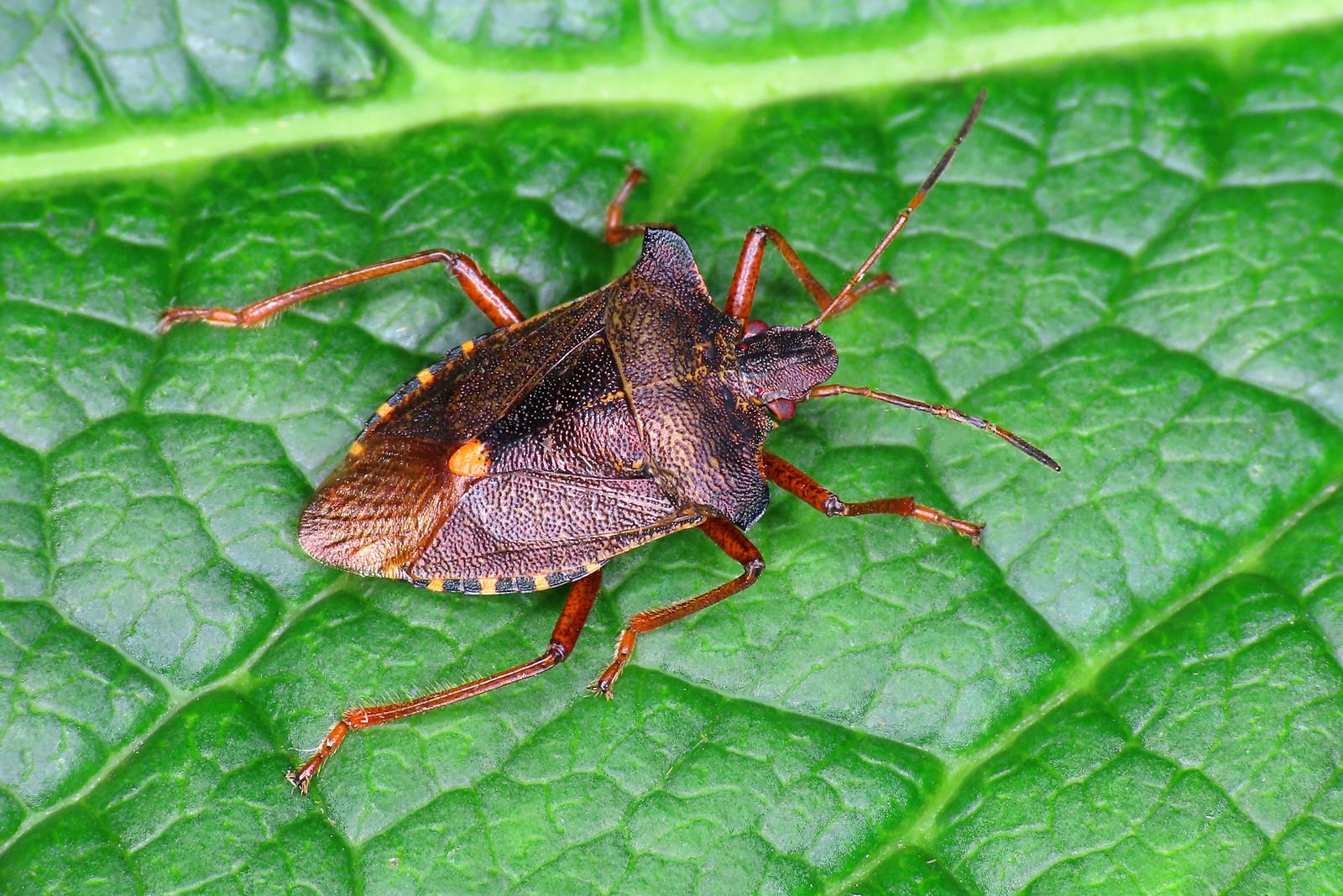 Red-legged Shieldbug - Pentatoma rufipes [A]